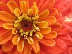 Beautiful organic flowers from Chickadee Creek Farm in Pennington, NJ, Hopewell Twp