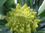 Stunning organic romanesco from Chickadee Creek Farm in Pennington NJ, Hopewell Twp.