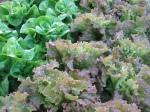 Leaves of organic lettuce at Chickadee Creek Farm in Pennington NJ, Hopewell Twp.