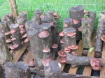 shiitake logs fruited this spring...though this strain wasn't supposed to do that until fall