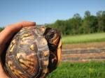Box turtle visitor