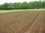 onions! We're doing the weeding with the cultivating tractor