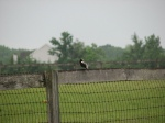 Bobolink singing his heart out to the ladies