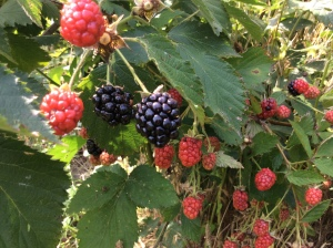 organic blackberries, pick your own, organic farm, pennington, summit, hoboken, princeton